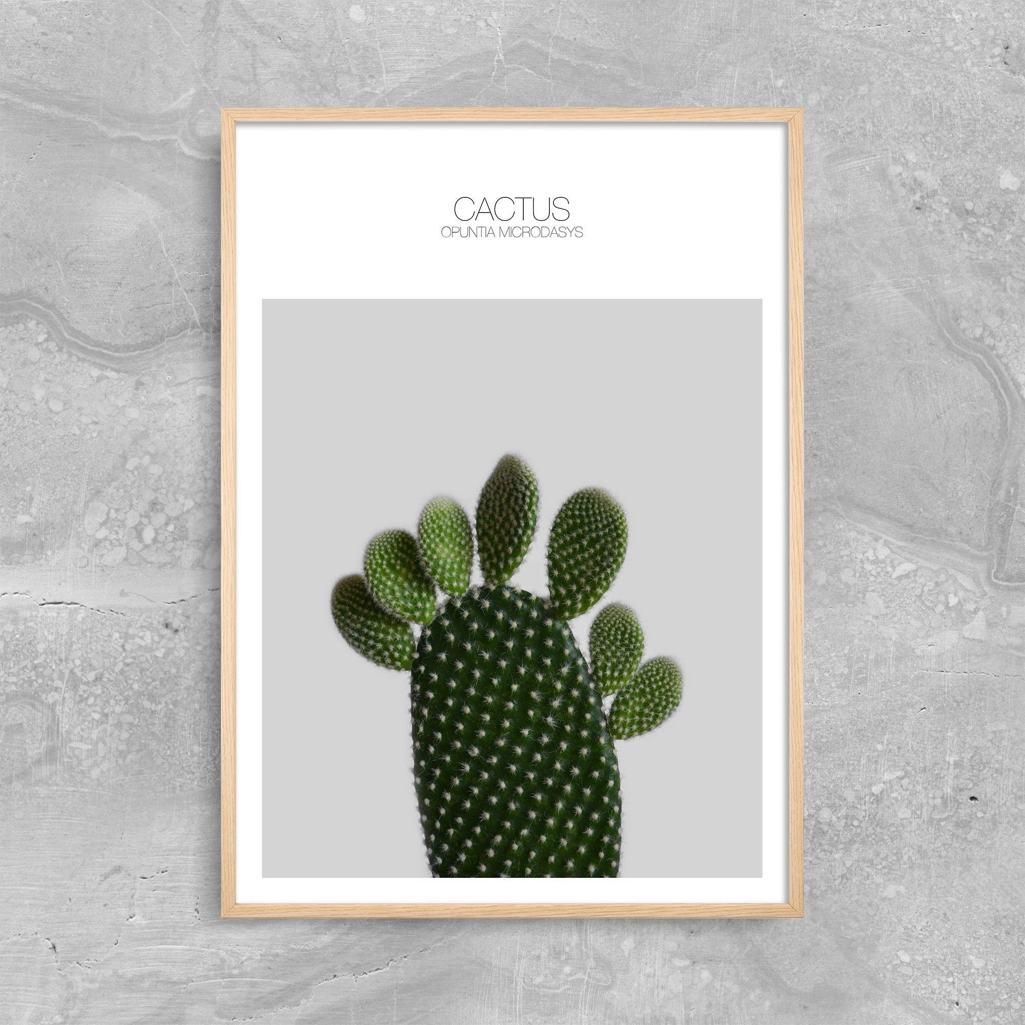 Cactus Opuntia Microdasys 2